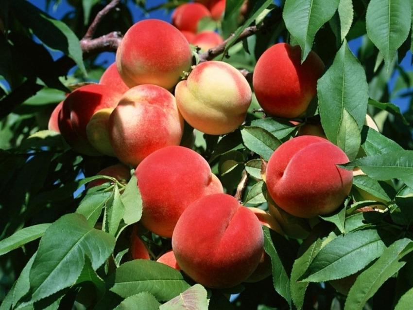 Đào Trung Quốc được xuất khẩu đến nhiều nơi trên khắp thế giới