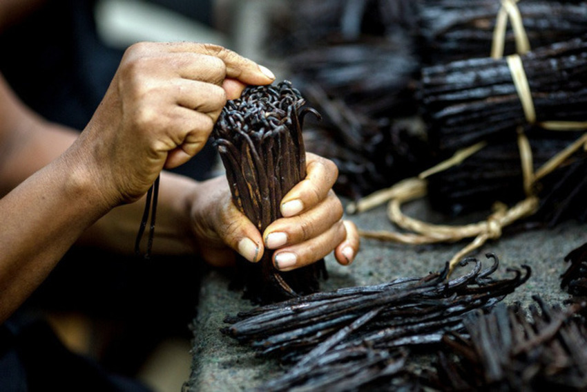 Quá trình thu hoạch quả vanilla kéo dài tận 3 tháng