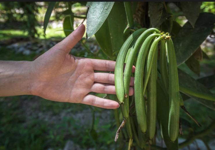 Hương vanilla trên đất Việt chất lượng không hề thua kém vanilla nhập khẩu