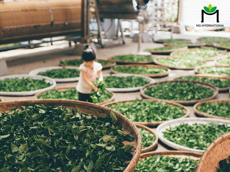 Sản lượng xuất khẩu trà có thể tiếp tục giảm trong quý II