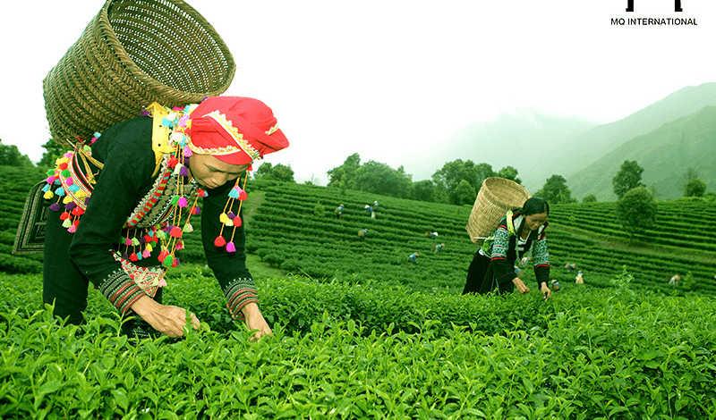 Trà xanh, trà đen, bột trà đen vẫn là những mặt hàng trà chế biến xuất khẩu chủ lực
