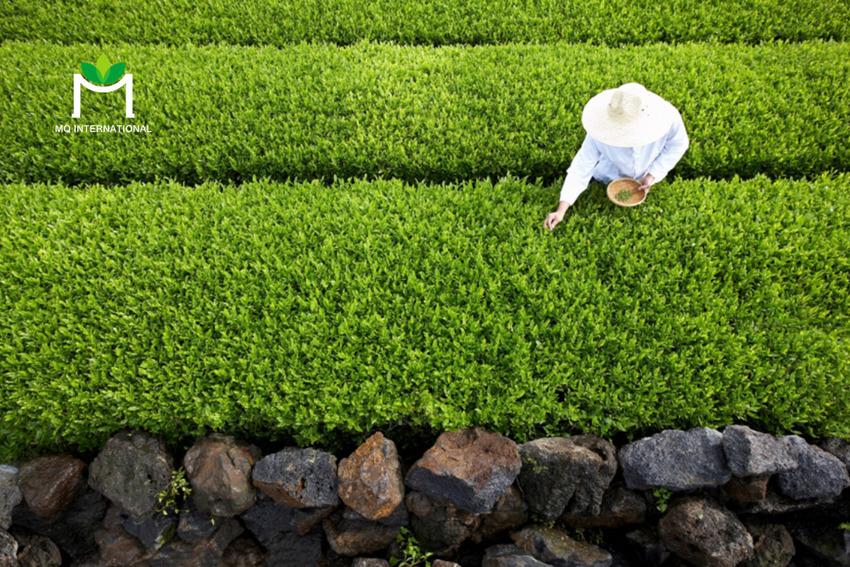 Các sản phẩm trà RTD được đón nhận tại nhiều thị trường khắp thế giới