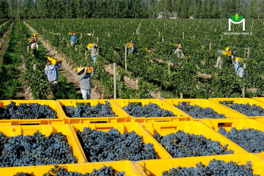 Thời tiết khiến việc thu hoạch và sản xuất rượu gặp nhiều khó khăn