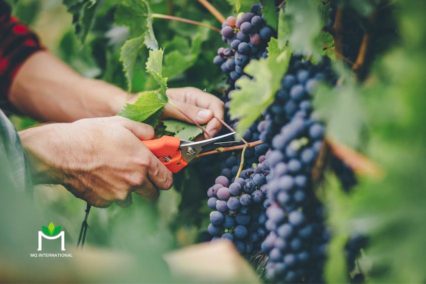 Việc sản xuất rượu tại châu Âu cũng gặp nhiều khó khăn