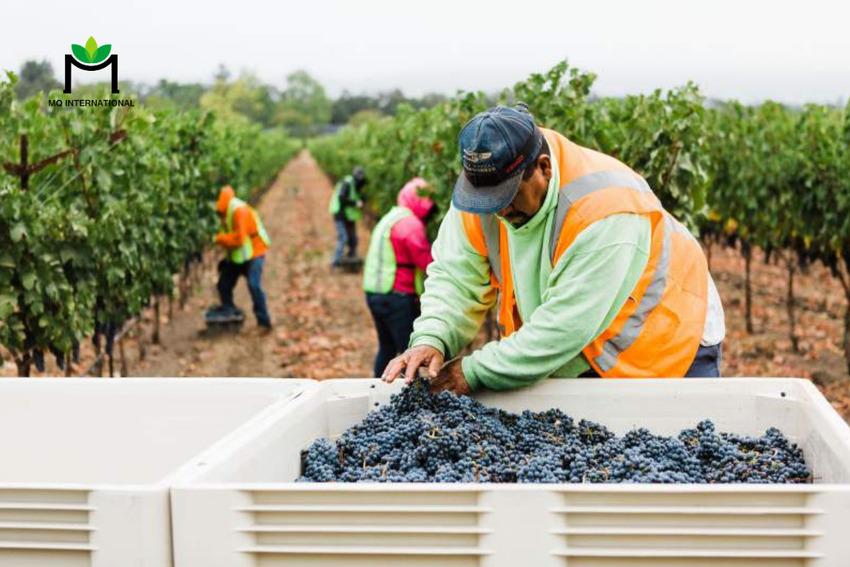 Việc thu hoạch và sản xuất rượu phần lớn bị ảnh hưởng bởi thời tiết