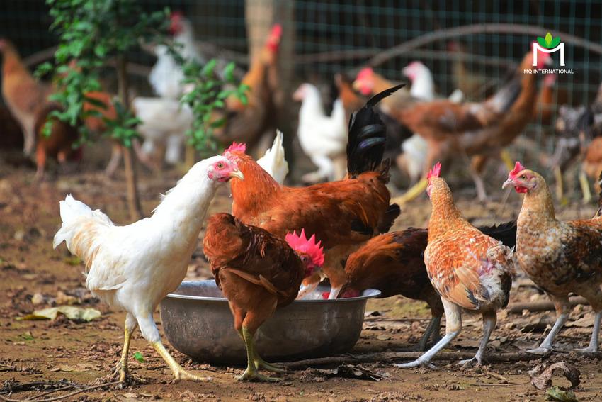 Các trang trại gà phát triển từ sớm ở Trung Quốc và nhiều quốc gia châu Á