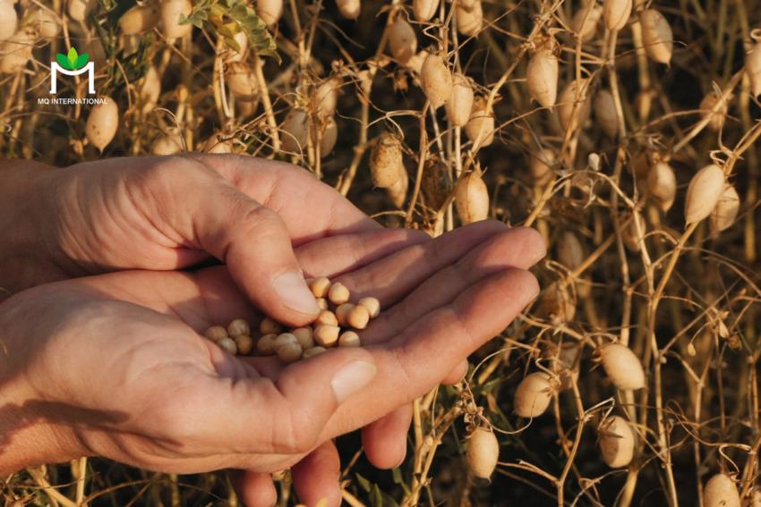 Việc trồng trọt và ứng dụng đậu gà có tính bền vững và thân thiện với môi trường