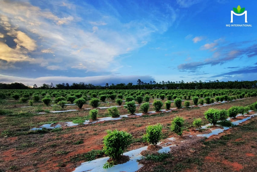 Lemon myrtle có hương vị tươi mát khác biệt, vừa cung cấp dinh dưỡng vừa ít tác động xấu đến môi trường