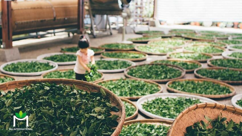 Mỗi năm, thế giới tiêu thụ hơn 40 triệu lít trà