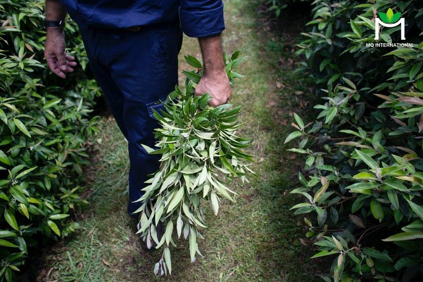 Trồng và thu hoạch Lemon myrtle không tác động nhiều đến môi trường