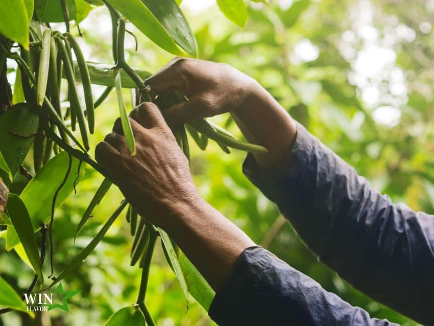Đậu vani là một loại quả thuộc họ lan