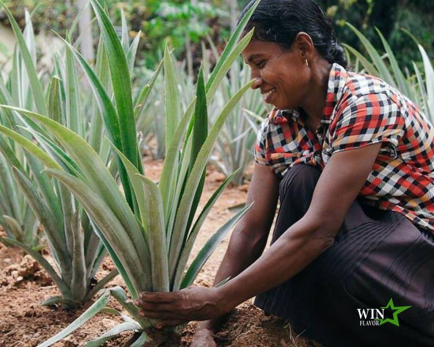 Điều lệ đảm bảo sinh kế cho bà con trồng dừa