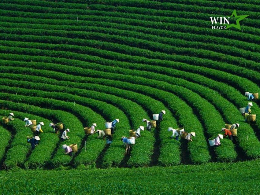 Khắp châu Á có hàng nghìn nông trại trà