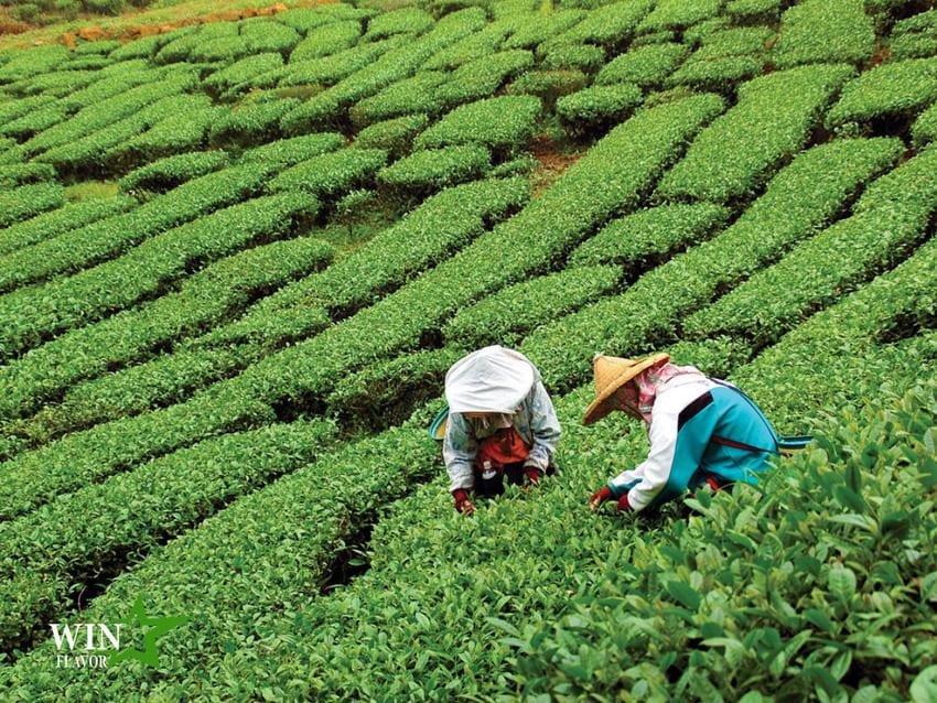 Mùa thu hoạch trà tại Vân Nam, Trung Quốc