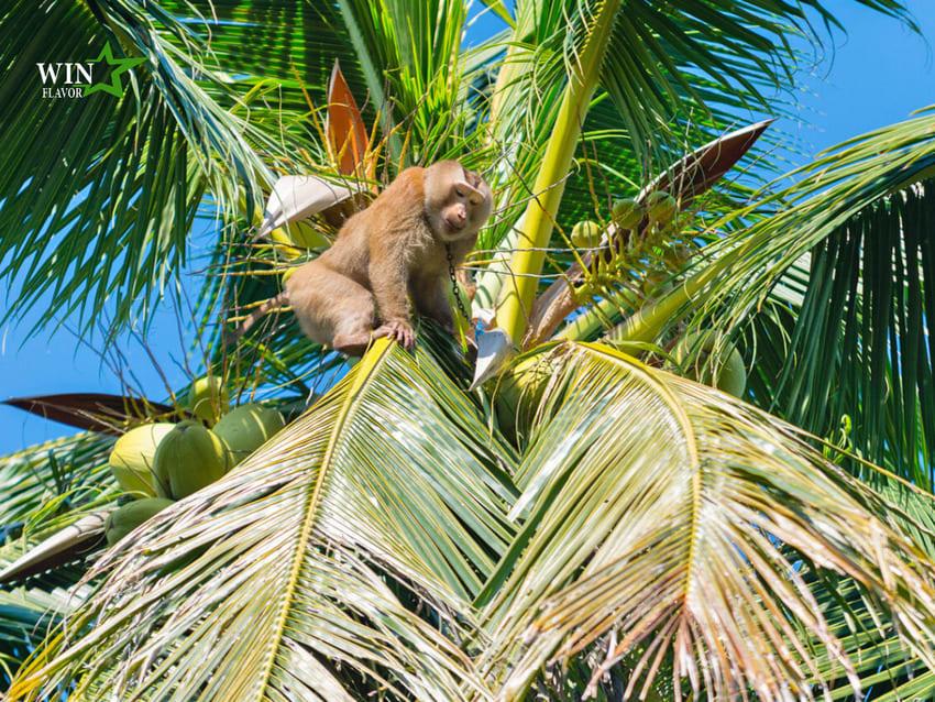Tại một số quốc gia châu Á, khỉ được sử dụng như một lao động hái dừa