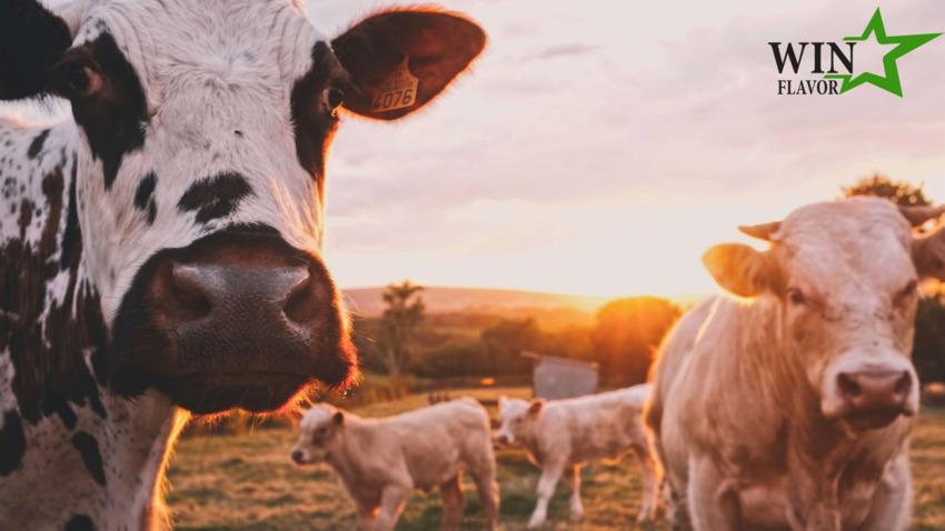 Bò ăn cỏ là loài động vật được các nhà sản xuất collagen gia súc ưa chuộng