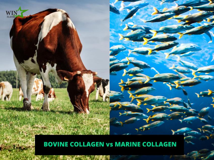 Collagen chi bò và collagen đại dương, nguyên liệu nào tối ưu hơn?
